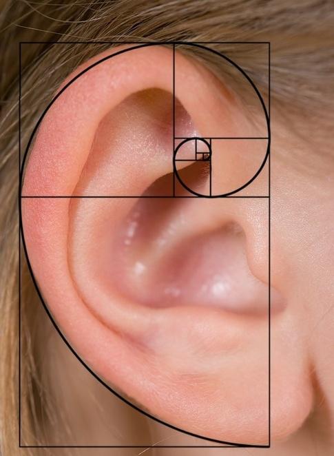 fibonachi-human-ear